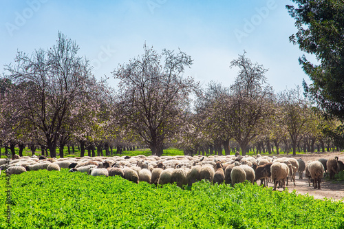 Photo Large flock of sheep in the meadow