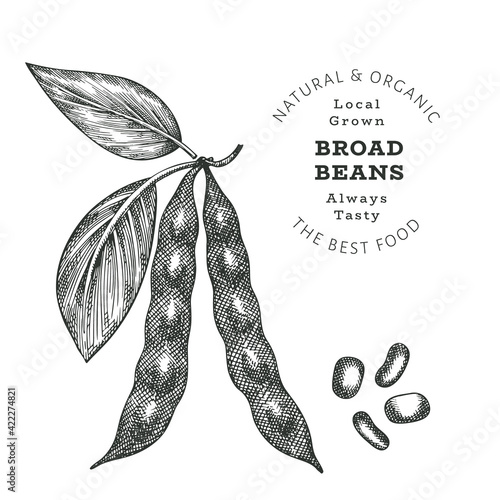 Fototapeta Hand drawn sketch style broad beans. Organic fresh food vector illustration isolated on white background. Retro pods illustration. Engraved botanical style cereals. obraz