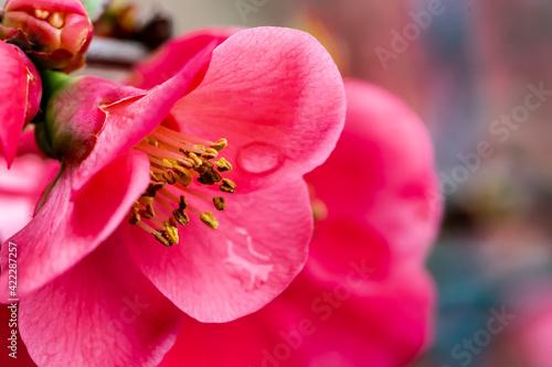 Tela Pistils de fleur de cognassier du Japon en gros plan après la pluie