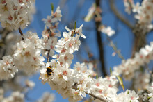 Selective Focus Shot Of A Bee Pollinating Almond Blossom Flowers