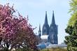 Leinwandbild Motiv Kirschblüte in Köln