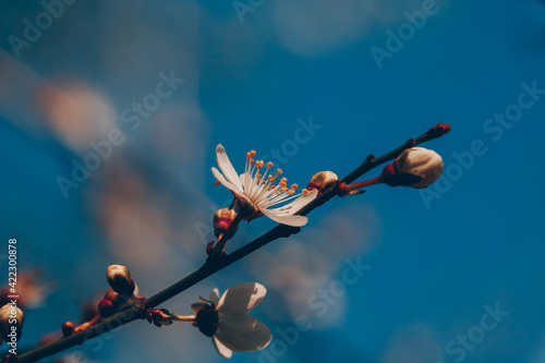 Obraz na plátně Floraison d'arbre fruitier