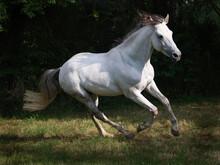 Cantering Grey Horse