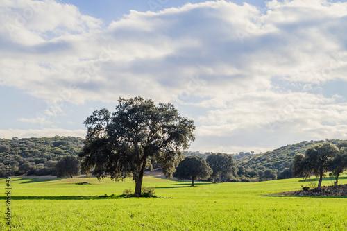 Holm oak grove