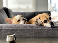 Shallow Focus Of Two Dogs Lying On A Gray Sofa Indoors