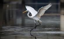Great White Egret Fishing On A Lake