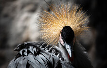 Close Up Of African Crowned Crane