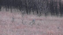 White-tailed Deer Buck Pair Eating Feeding Foraging Fall Burned Trees Burnt Snag