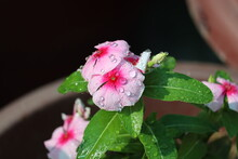 Fresh Droplets Of Water Dew On The Beautiful Pink Flowers- Rosy Periwinkle Found In The Tropical Rainforests Of The Western Ghats.