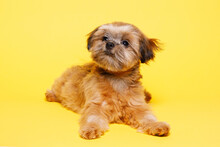 Portraite Of Cute Puppy Shih Tzu. Little Smiling Dog On Bright Trendy Yellow Background. Free Space For Text.