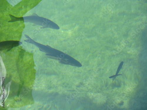 Fototapeta fishes obraz