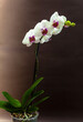 canvas print picture - Beautiful white and purple orchid on a dark background