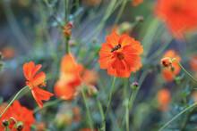 Blühende Orangefarbene Cosmea