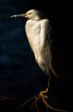 Snowy Egret White Heron Bird With Dark Background