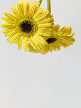 Two Yellow Gerberas, Beautiful Blooming Yellow Flower, Letterhead, Copy Space