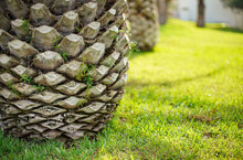 Palm Tree Trunk With Branches Cut In Nice Pattern, Blurred Sun Lit Green Grass Background