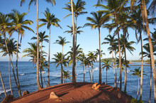 Coconut Palm Trees And Two Dogs On A Tropical Beach At Sunrise, Sri Lanka.
