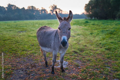 Vászonkép During sunrise, the donkey stands on the green meadow and stares