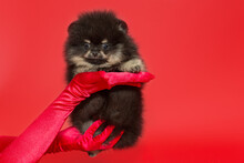 Pomeranian Puppy On Red