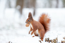 Portrait Of Squirrels  On A Background Of White Snow
