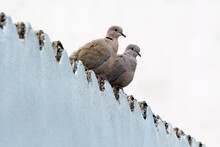 2 Doves On The Roof Of A Building In Athens, Greece. The Eurasian Collared Dove (Streptopelia Decaocto) Is A Dove Species Native To Europe And Asia