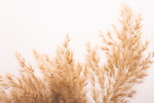 Beautiful Beige Dried Flowers On White Background.