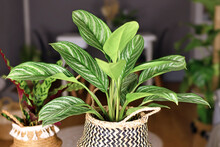 Tropical 'Aglaonema Stripes' Houseplant With Long Leaves With Silver Stripe Pattern In Basket Flower Pot