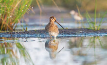 Snipe Stands Proudly In The Water In Shallow Water