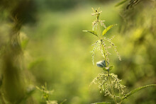 Nettle In The Meadow At Sunrise With Bokeh
