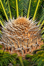 Closeup View Of Flower Of Female Sago Palm