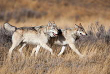 Yellowstone National Park, Two Gray Wolves Move Through The Dry Grass.