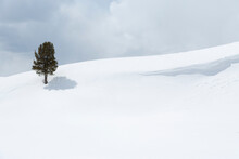 Yellowstone National Park, Lamar Valley. A Lone Trees Standing Out In The Snowy Landscape.