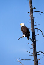 Yellowstone National Park, Bald Eagle Perching On The Limb Of A Dead Tree.