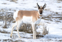 Yellowstone National Park, Portrait Of A Male Pronghorn In Winter Snow.