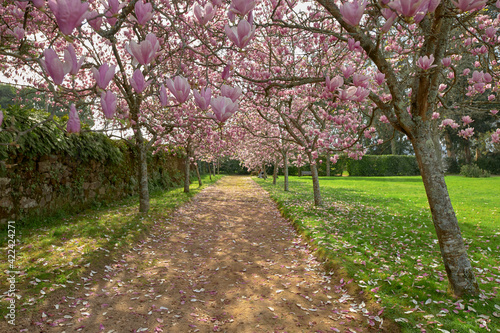 Fototapety, obrazy: Path in the park surrounded by blossomed Chienese magnolia trees