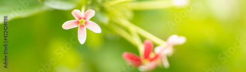 Fotografie, Obraz Closeup of mini pink and red flower on blurred gereen background under sunlight with copy space using as background natural plants landscape, ecology cover page concept