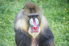 Mandrill With Great Look On His Face