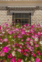 Garden Cosmos (Cosmos Bipinnatus) Flowers In Xiahe Town, Gansu Province, China