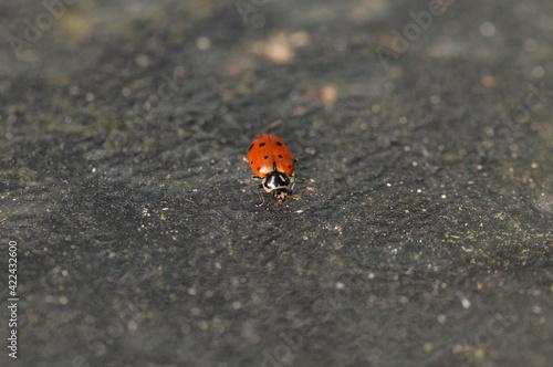 Fotografie, Obraz Lone Convergent lady beetle also called the ladybug Hippodamia convergens