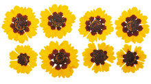 Pressed And Dried Flowers Coreopsis. Isolated On White Background. For Use In Scrapbooking, Floristry Or Herbarium