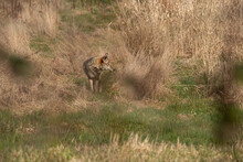 One Coyote Sniffing Around Near The Tall Brown Grass Field On A Sunny Day In The Park