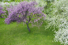 Pink Flowering Apple Tree In Spring Orchard. Natural Background. Aerial View From Flying Drone