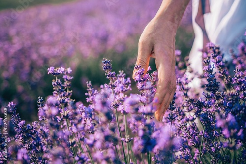 Close up on hand of happy young woman in white dress on blooming fragrant lavender fields with endless rows. Warm sunset light. Bushes of lavender purple aromatic flowers on lavender fields.