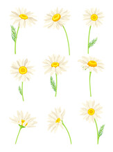 Common Daisy Or Bellis Perennis On Stem With White Ray Florets And Yellow Disc Floret Vector Set