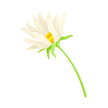 Common Daisy Or Bellis Perennis On Stem With White Ray Florets And Yellow Disc Floret Vector Illustration