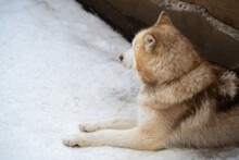 Close Up Photo Of A Husky Dog. Siberian Husky Lies In The Snow And Is Sad.