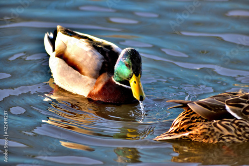 Ducks swimming in the water drinking