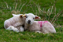 A Pair Of Early Spring Lambs In Green Pasture