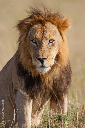 Lion (Panthera leo) male resting in the Masai Mara in Kenya