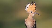 Beautiful Rare Bird With A Tuft
